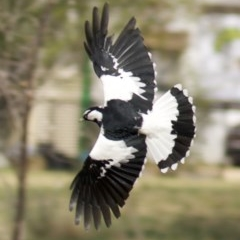 Grallina cyanoleuca (Magpie-lark) at City Renewal Authority Area - 10 Apr 2018 by jbromilow50