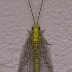 Mallada sp. (genus) (Green lacewing) at Ainslie, ACT - 12 Apr 2018 by jbromilow50