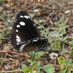 Euploea core (Common Crow or Oleander Butterfly) at Macarthur, ACT - 14 Apr 2018 by RodDeb