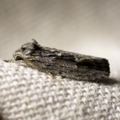 Agriophara platyscia (A Concealer moth) at O'Connor, ACT - 18 Mar 2018 by ibaird