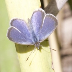 Zizina otis (Common Grass-blue) at City Renewal Authority Area - 14 Apr 2018 by jbromilow50