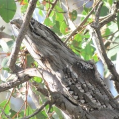 Podargus strigoides (Tawny Frogmouth) at Kama - 13 Apr 2018 by KumikoCallaway