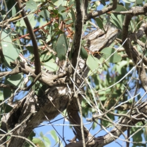 Podargus strigoides at Kama - 14 Apr 2018