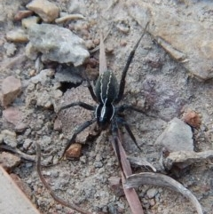 Pisauridae sp. (family) (Water spider) at Mount Painter - 13 Apr 2018 by CathB