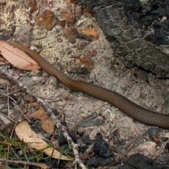 Drysdalia rhodogaster (Mustard-bellied Snake) at Surf Beach, NSW - 17 Jan 2011 by MaxCampbell