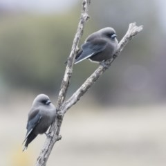 Artamus cyanopterus (Dusky Woodswallow) at Jerrabomberra Wetlands - 15 Apr 2018 by Alison Milton