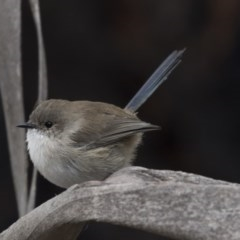 Malurus cyaneus (Superb Fairywren) at Jerrabomberra Wetlands - 15 Apr 2018 by Alison Milton