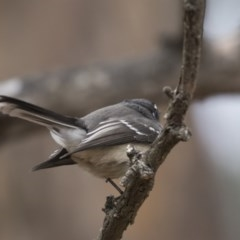 Rhipidura fuliginosa (Grey Fantail) at Jerrabomberra Wetlands - 15 Apr 2018 by Alison Milton