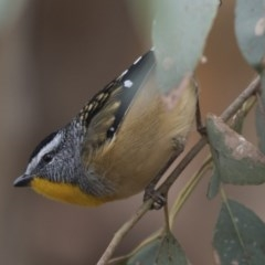 Pardalotus punctatus (Spotted Pardalote) at Jerrabomberra Wetlands - 15 Apr 2018 by Alison Milton