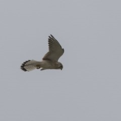 Falco cenchroides (Nankeen Kestrel) at Jerrabomberra Wetlands - 15 Apr 2018 by Alison Milton