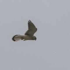 Falco cenchroides (Nankeen Kestrel) at Jerrabomberra Wetlands - 15 Apr 2018 by Alison Milton
