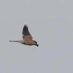 Falco cenchroides at Jerrabomberra Wetlands - 15 Apr 2018