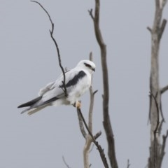 Elanus axillaris (Black-shouldered Kite) at Jerrabomberra Wetlands - 15 Apr 2018 by Alison Milton