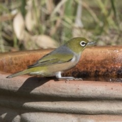 Zosterops lateralis (Silvereye) at Higgins, ACT - 10 Apr 2018 by Alison Milton