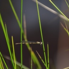 Austrolestes leda (Wandering Ringtail) at Wamboin, NSW - 1 Feb 2018 by natureguy