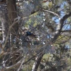 Malurus cyaneus (Superb Fairywren) at Wamboin, NSW - 9 Feb 2018 by natureguy