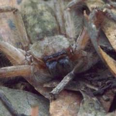 Delena cancerides (Social Huntsman Spider) at Mount Ainslie - 16 Apr 2018 by jbromilow50