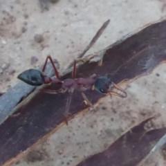 Myrmecia nigriceps (Black-headed bull ant) at Campbell Park Woodland - 9 Apr 2018 by Christine