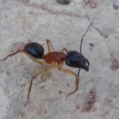 Camponotus nigriceps (Black-headed sugar ant) at Majura, ACT - 9 Apr 2018 by Christine
