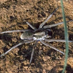 Lycosidae sp. (family) (Unidentified wolf spider) at Ainslie, ACT - 18 Apr 2018 by jbromilow50