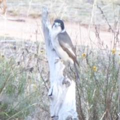 Cracticus torquatus (Grey Butcherbird) at Hughes Grassy Woodland - 18 Apr 2018 by JackyF