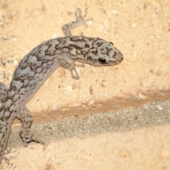 Christinus marmoratus (Southern Marbled Gecko) at Higgins, ACT - 18 Apr 2018 by Alison Milton
