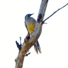 Anthochaera carunculata (Red Wattlebird) at Red Hill Nature Reserve - 17 Apr 2018 by JackyF