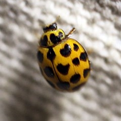 Harmonia conformis (Common Spotted Ladybird) at O'Connor, ACT - 12 Apr 2018 by ibaird