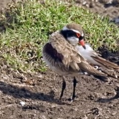 Elseyornis melanops (Black-fronted Dotterel) at Jerrabomberra Wetlands - 19 Apr 2018 by RodDeb