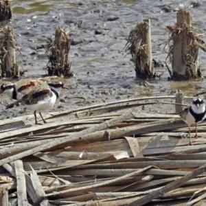 Elseyornis melanops at Jerrabomberra Wetlands - 19 Apr 2018