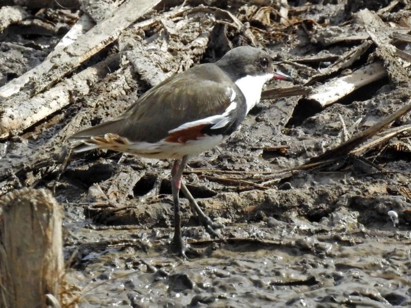 Erythrogonys cinctus at Jerrabomberra Wetlands - 19 Apr 2018