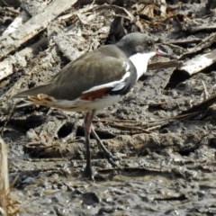 Erythrogonys cinctus (Red-kneed Dotterel) at Jerrabomberra Wetlands - 19 Apr 2018 by RodDeb