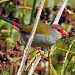 Neochmia temporalis (Red-browed Finch) at Jerrabomberra Wetlands - 19 Apr 2018 by RodDeb