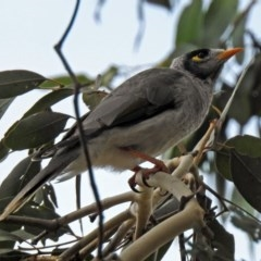 Manorina melanocephala (Noisy Miner) at Jerrabomberra Wetlands - 19 Apr 2018 by RodDeb