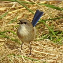 Malurus cyaneus (Superb Fairywren) at Jerrabomberra Wetlands - 19 Apr 2018 by RodDeb
