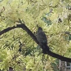 Callocephalon fimbriatum (Gang-gang Cockatoo) at Hughes, ACT - 12 Apr 2018 by ruthkerruish