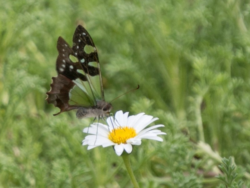Graphium macleayanum at Canberra Central, ACT - 19 Apr 2018