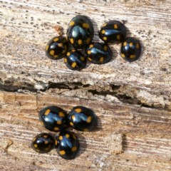 Orcus australasiae (Orange-spotted Ladybird) at Mount Ainslie - 19 Apr 2018 by jbromilow50