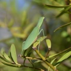 Orthodera ministralis (Garden mantis) at Wamboin, NSW - 17 Feb 2018 by natureguy