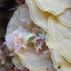 Martensia sp. (TBC) at North Tura Coastal Reserve - 21 Apr 2018 by libbyh