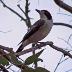 Cracticus torquatus (Grey Butcherbird) at Namadgi National Park - 20 Apr 2018 by RodDeb