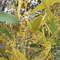 Acacia melanoxylon (Blackwood) at Lower Cotter Catchment - 21 Apr 2018 by Mike