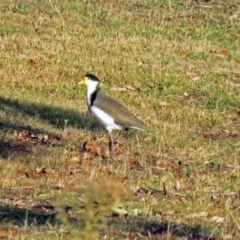 Vanellus miles (Masked Lapwing) at Namadgi National Park - 20 Apr 2018 by RodDeb
