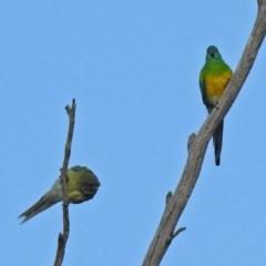 Psephotus haematonotus (Red-rumped Parrot) at Namadgi National Park - 20 Apr 2018 by RodDeb