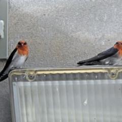 Hirundo neoxena (Welcome Swallow) at Namadgi National Park - 20 Apr 2018 by RodDeb