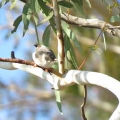 Daphoenositta chrysoptera (Varied Sittella) at Mulligans Flat - 20 Apr 2018 by KumikoCallaway