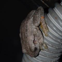 Litoria peronii (Peron's Tree-frog) at Aranda, ACT - 5 May 2013 by KMcCue