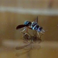 TEPHRITIDAE (family) (Fruit fly or seed fly) at Brogo, NSW - 22 Apr 2018 by MaxCampbell