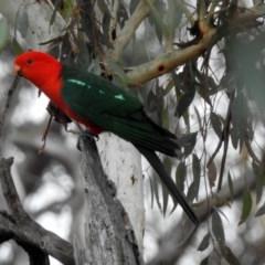 Alisterus scapularis (Australian King-Parrot) at Majura, ACT - 22 Apr 2018 by RodDeb