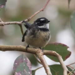 Rhipidura albiscapa (Grey Fantail) at Hawker, ACT - 3 Apr 2018 by Alison Milton